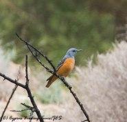 Rufous-tailed Rock Thrush, Anarita Park 12th April 2017 (c) Cyprus Birding Tours