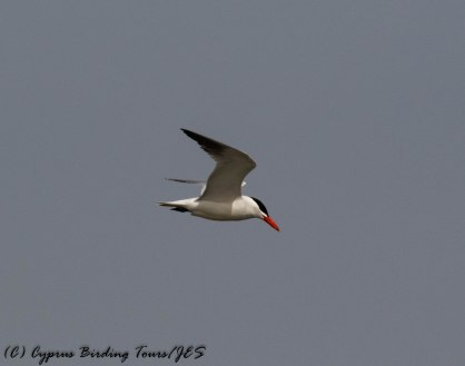 Caspian Tern, Larnaca Sewage Works 14th May 2017 (c) Cyprus Birding Tours