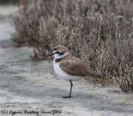 Kentish Plover, Lady's Mile 2nd May 2017 (1 of 1)