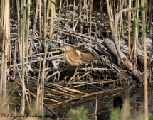 Little Bittern, Zakaki Marsh 2nd May 2017 (c) Cyprus Birding Tours