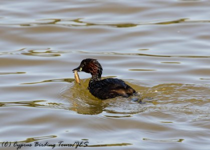 Little Grebe adult with small fish, Athalassa Dam 22nd June 2017 (c) Cyprus Birding Tours