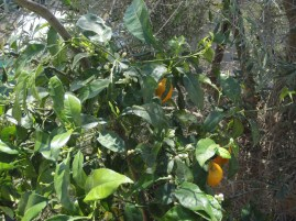 Olive tree and oranges on the citrus tree.