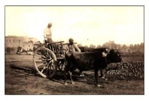 A Bullock Cart Circa 1879 s