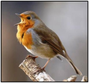 European Robin – many a Cyprus trapper's favourite