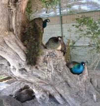 A Peacock delight