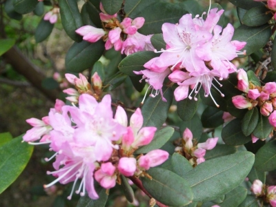 Rock Rose Rhododendron - Race Moson.