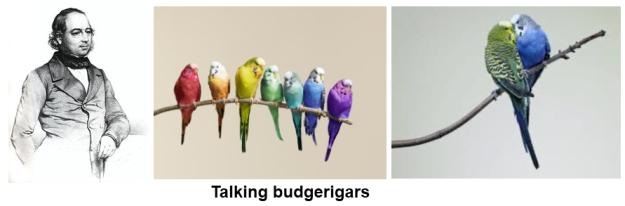 Talking budgerigars