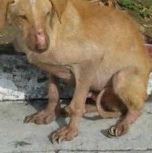 Karmi Dog