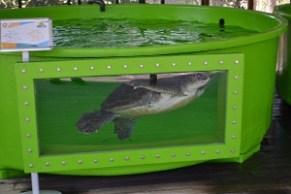 Meritta Turtle Rehabilitation Centre (26)