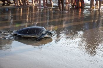 Meritta Sea Turtle released back into the sea (4)