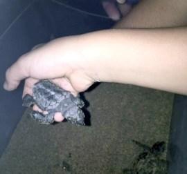 Caretta Sea Turtles 5