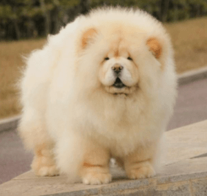 pics of Chow Chow Breed in nigeria