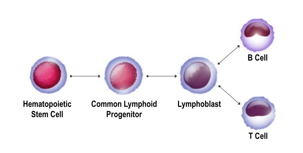 T Cell and B Cell Development from Hematopoietic Stem Cells