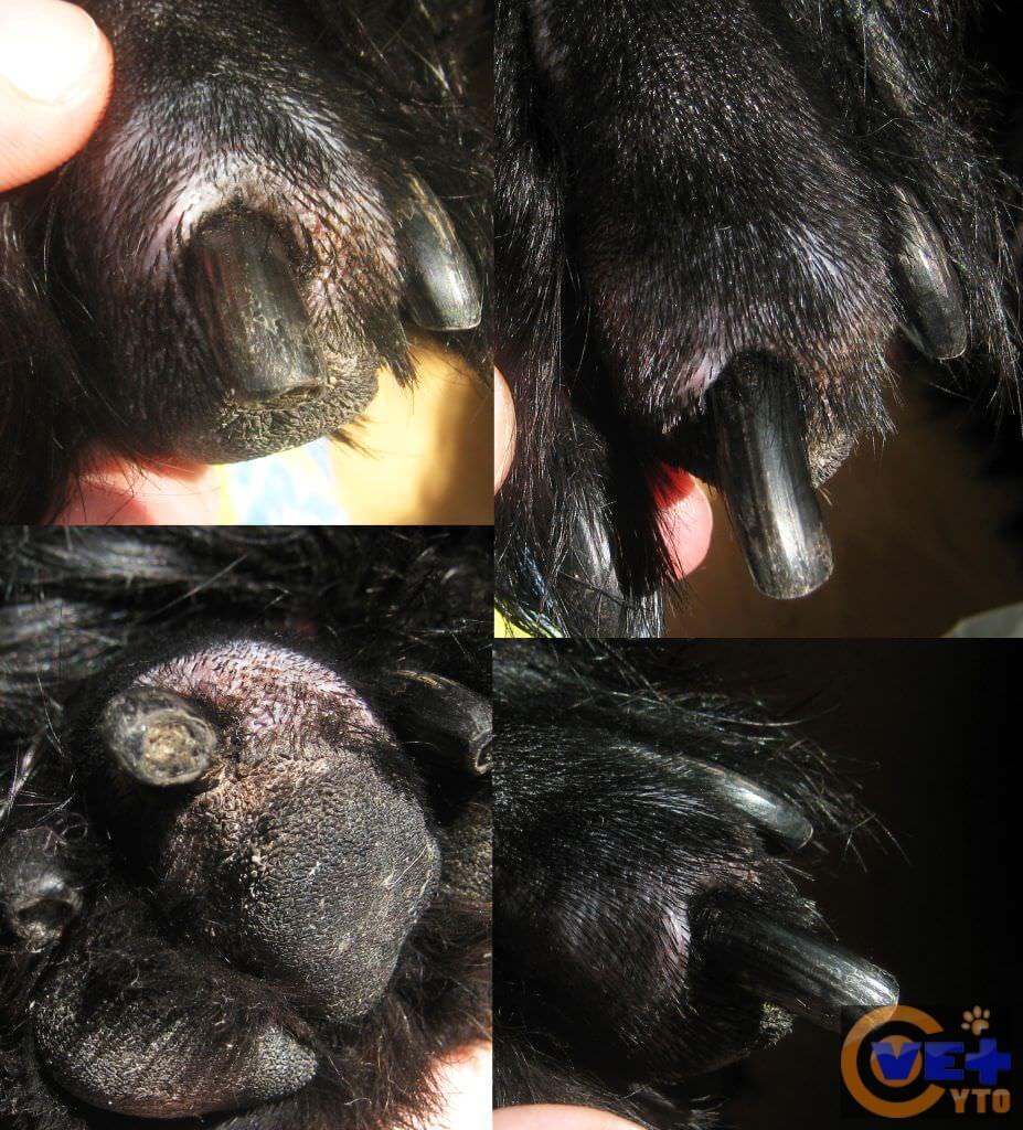 Внешний вид поражённого пальца у собаки
