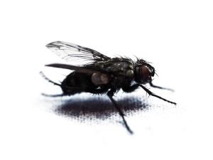 fly-946712_960_720