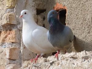 pigeons-1178919_960_720