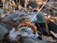Jeszcze raz żaby