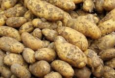 ziemniaki są obecne na europejskich stołach od lat