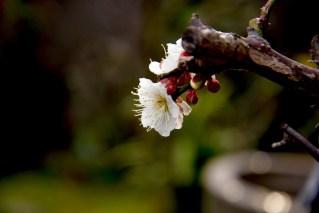もうすぐ2月も終わりですね、庭の梅。