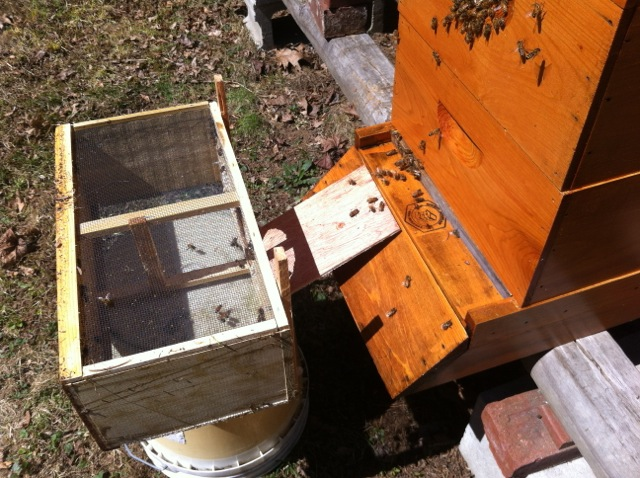 The few leftover bees in the package march their way into the hive.