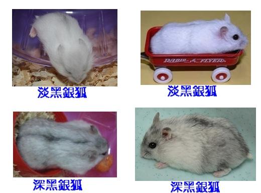 銀狐鼠的毛色特徵:淡黑毛頭,淡黑耳,黑背線
