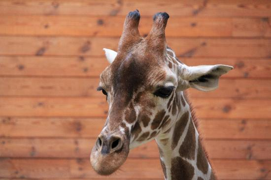 Danish Zoo Kills Giraffe To Feed To Other Animals
