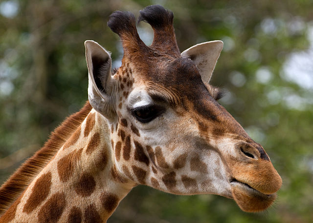 Blindfolded Giraffe Dies After Hitting Head on South