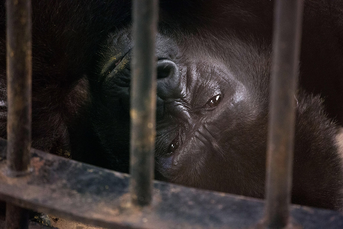 Thailand Campaign to Free Gorilla from HighRise Zoo in