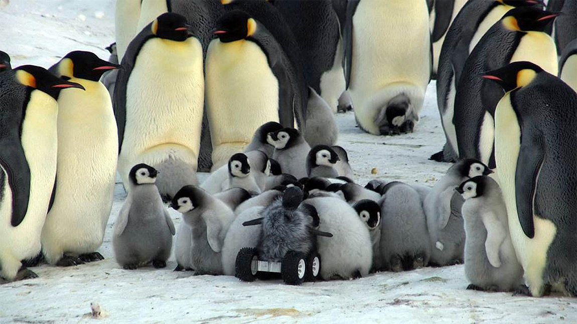Adelie Penguins Their Baby