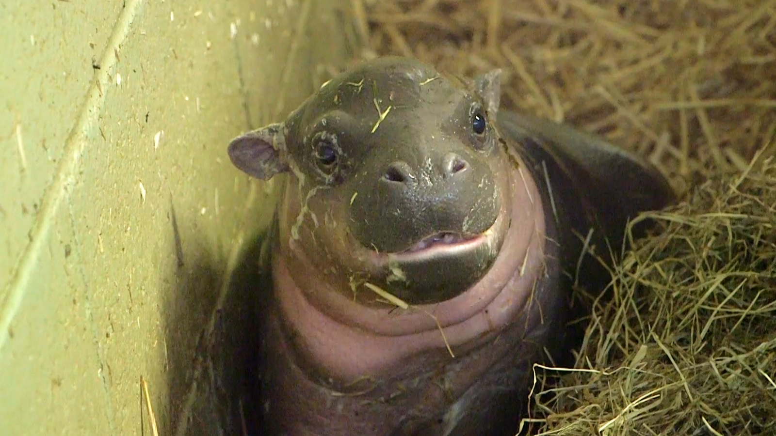 Cute Baby Wallpaper Backgrounds Endangered Baby Pygmy Hippo Born At Whipsnade Zoo