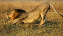 Lions Reintroduced In Rwanda Wiped