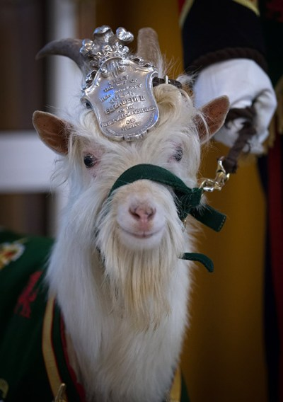 Meet Fusilier Llywelyn The 1st Battalion Of The Royal Welshs New Regimental Goat