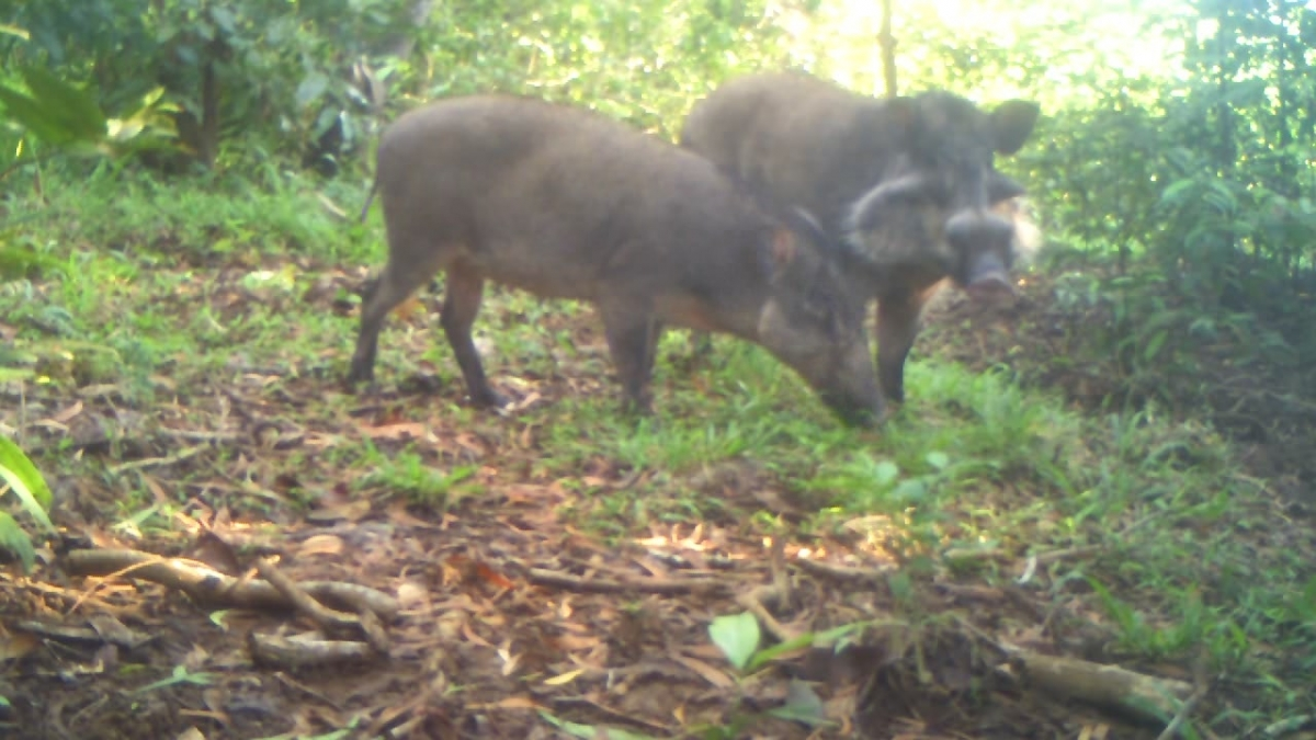 Bawean Warty Pigs Just 250 Adults Remain Of One Of Rarest