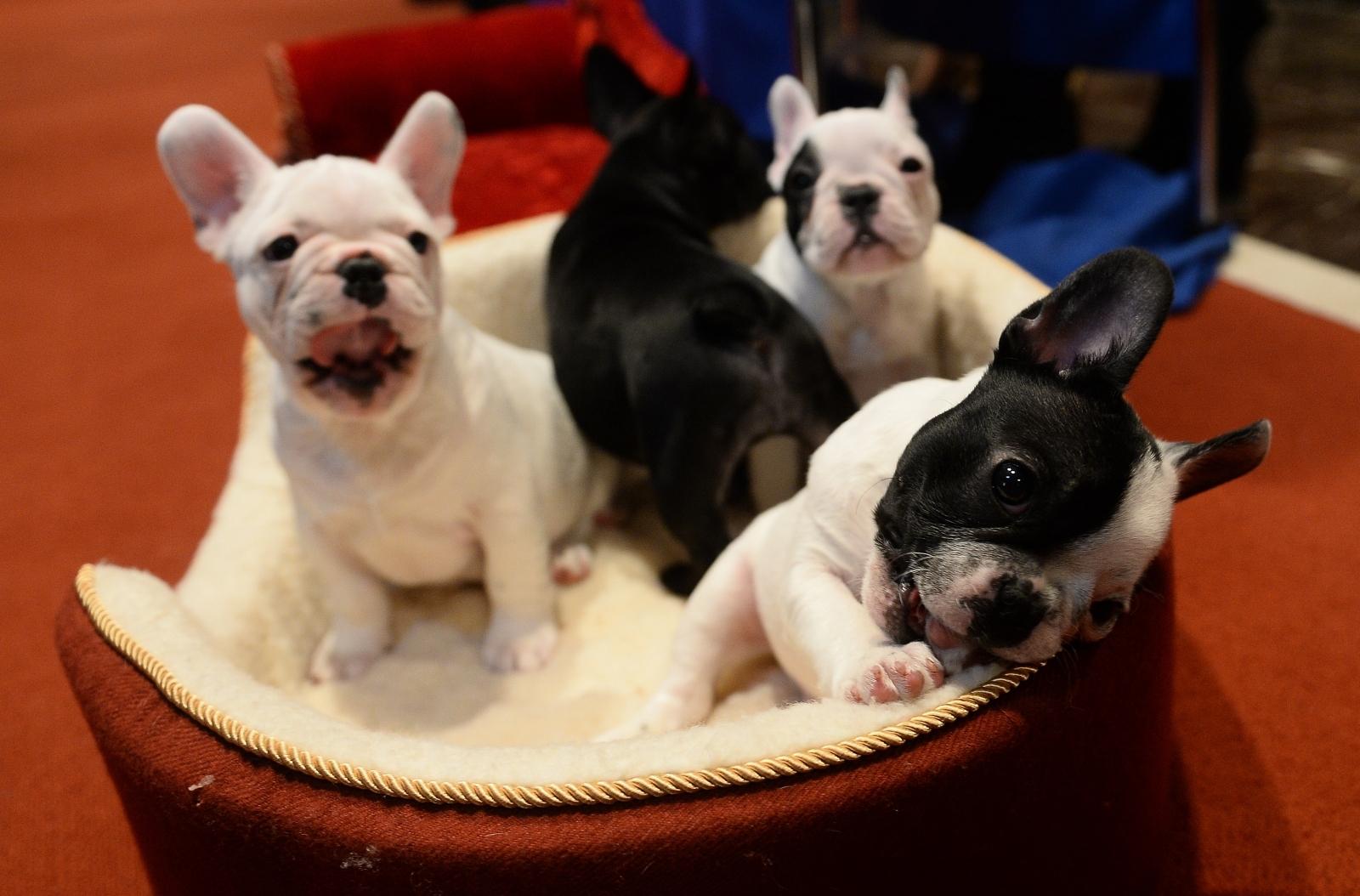 Bulldog Puppies Near Me - Idee per interni per la casa, il giardino