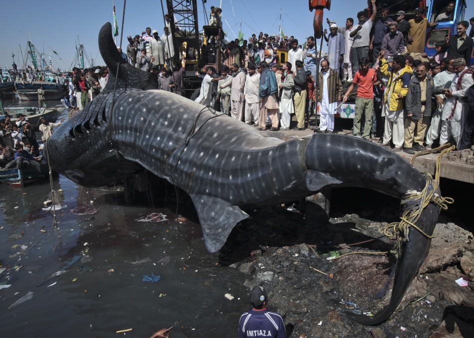 Karachi Fishermen Reel In 36Foot Whale Shark VIDEO