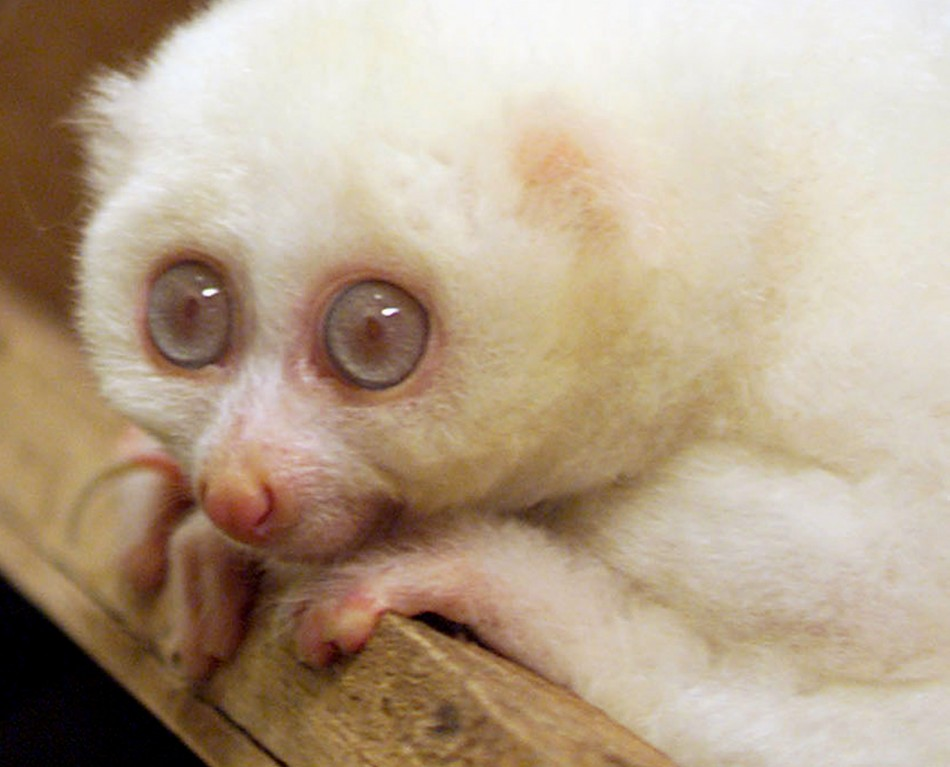 Do Albinos Have Red Eyes