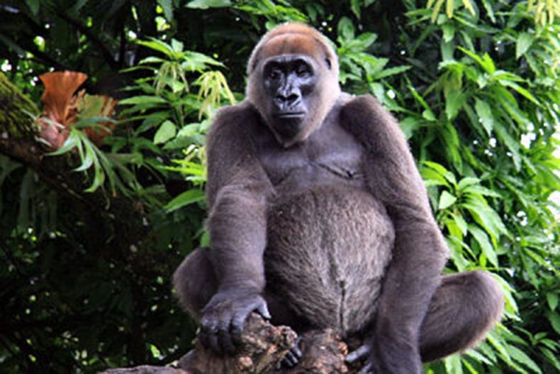 4 Cross_river_gorilla