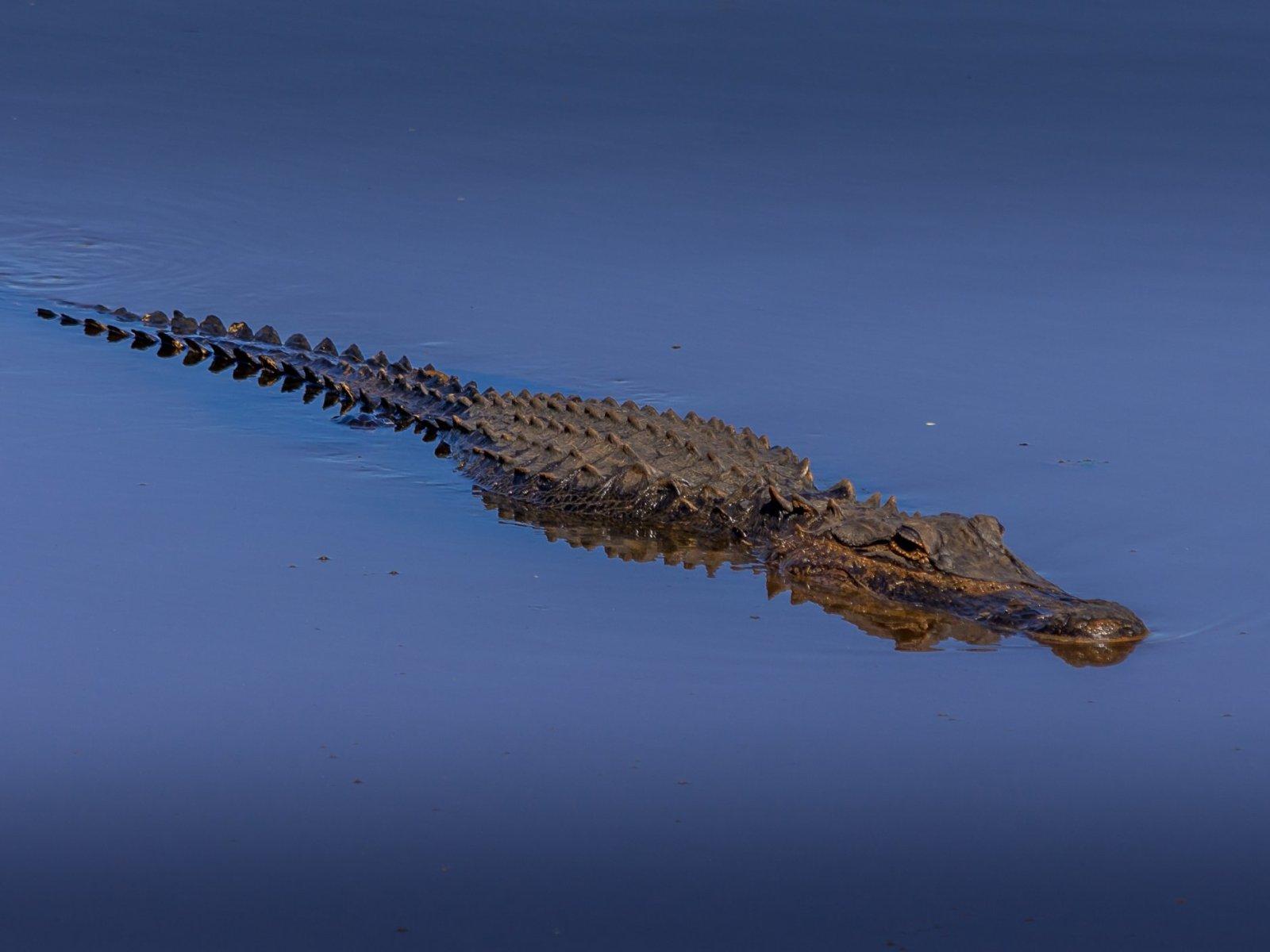 alligator attacks homeless woman in florida's citrus county lake