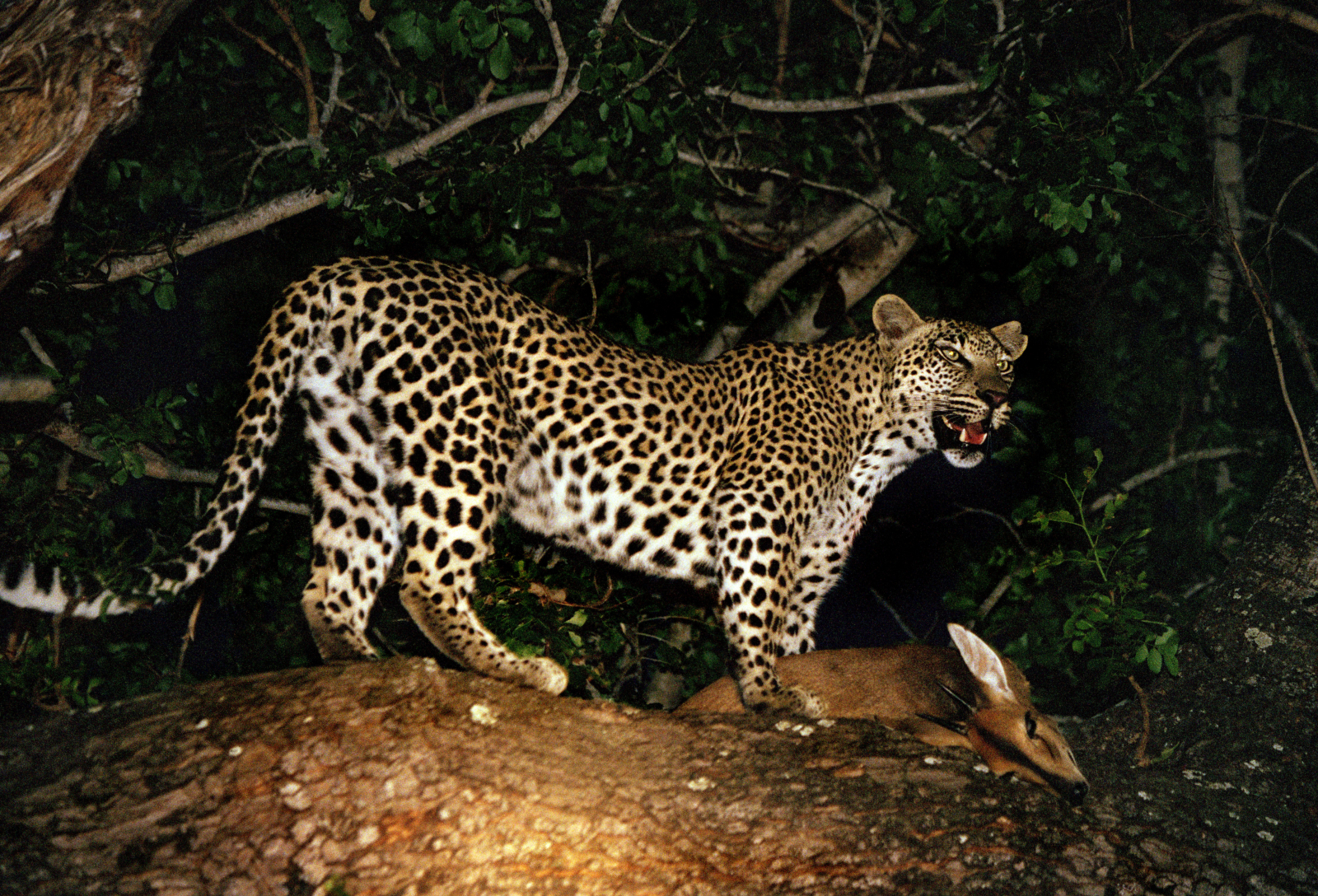 leopard mauls toddler to