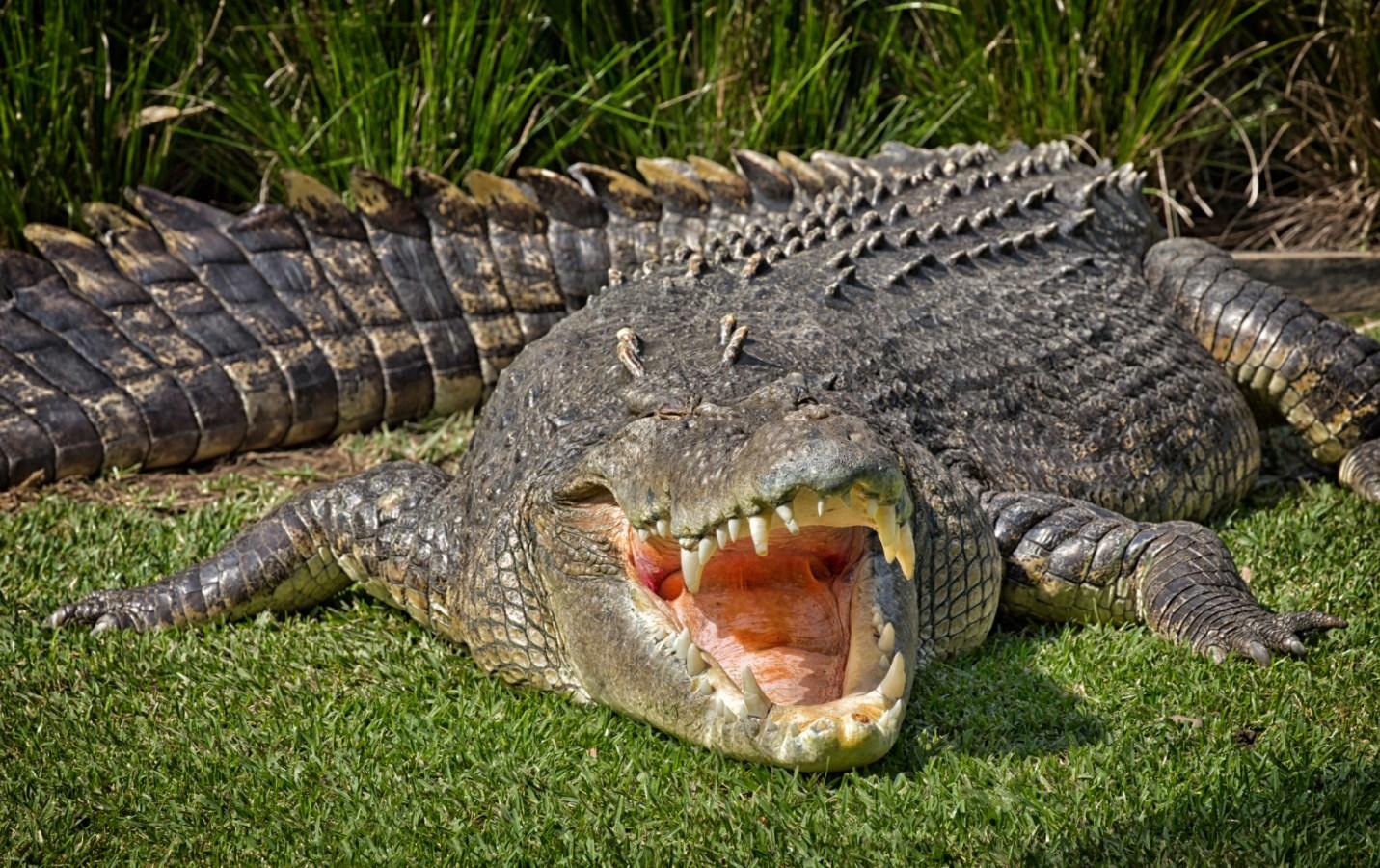 crocodile autopsy reveals surgical