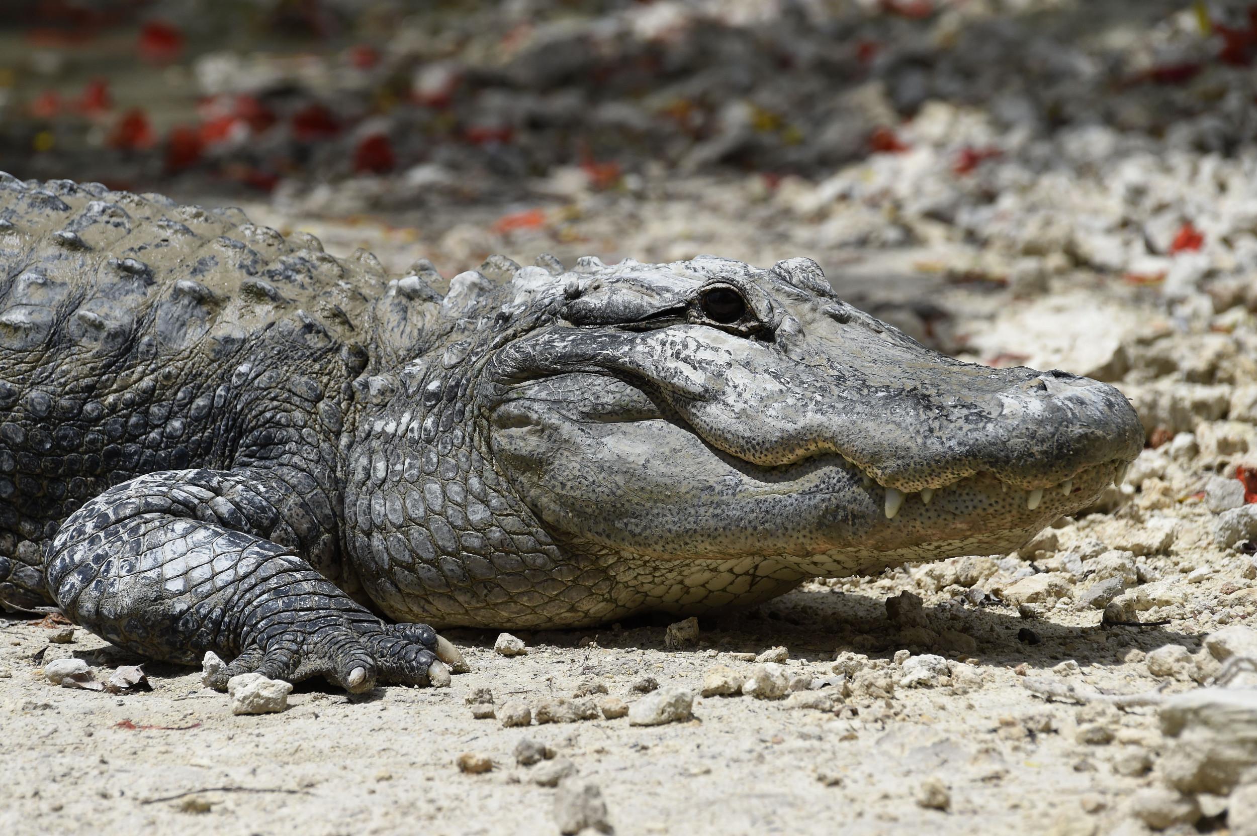Alligator Filmed Swimming In The Ocean Off Florida Beach