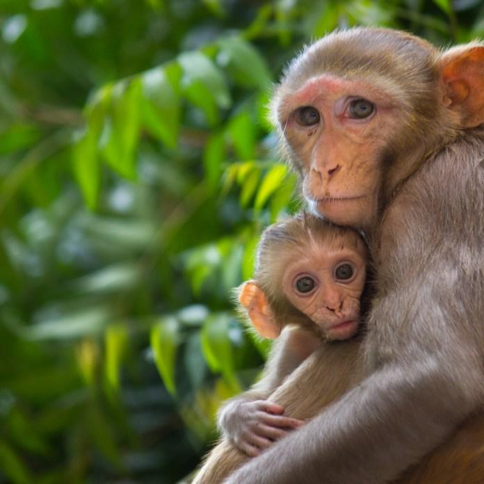 human monkey hybrids chimera