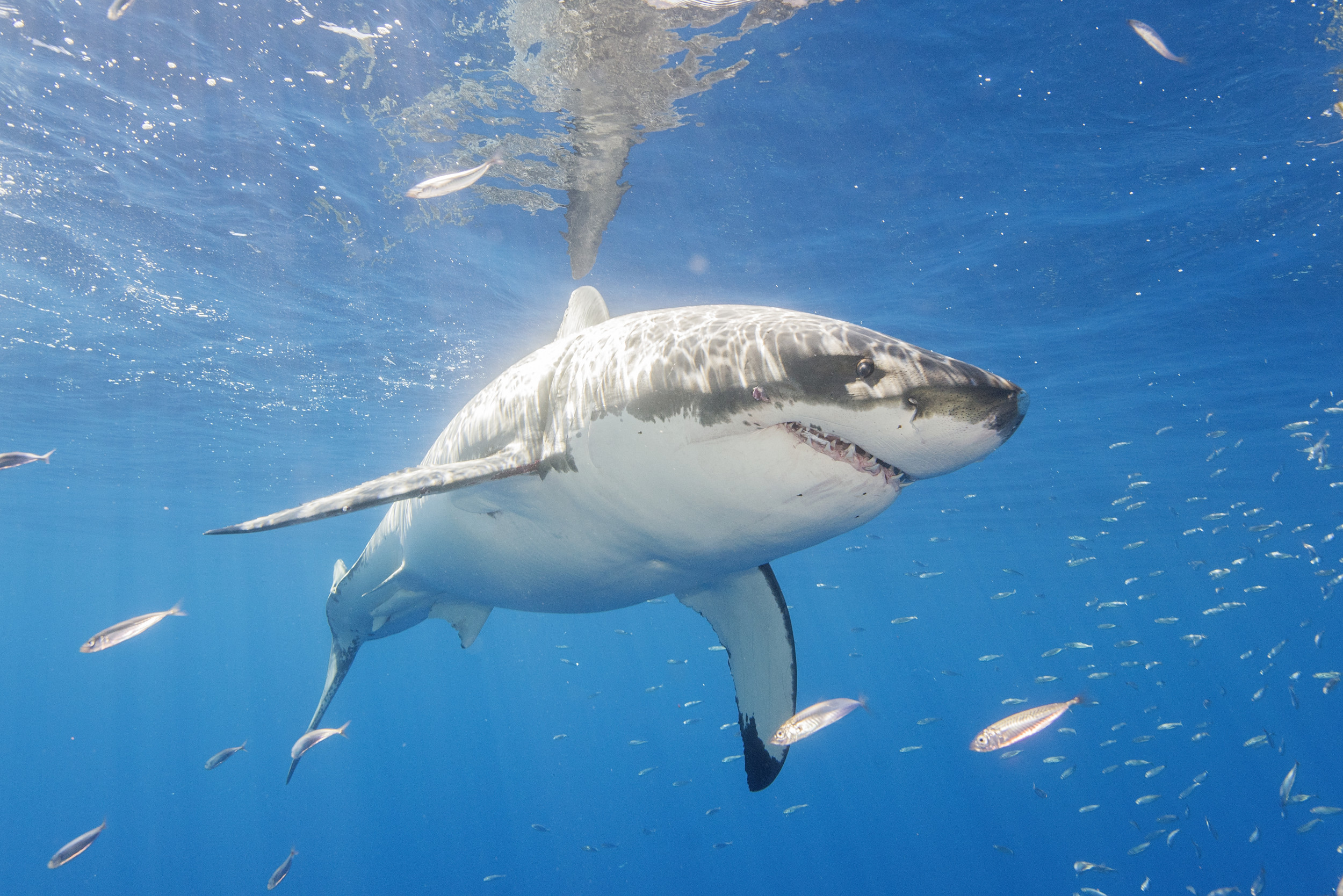 Aggressive Great White Shark Charges Two People Who Were