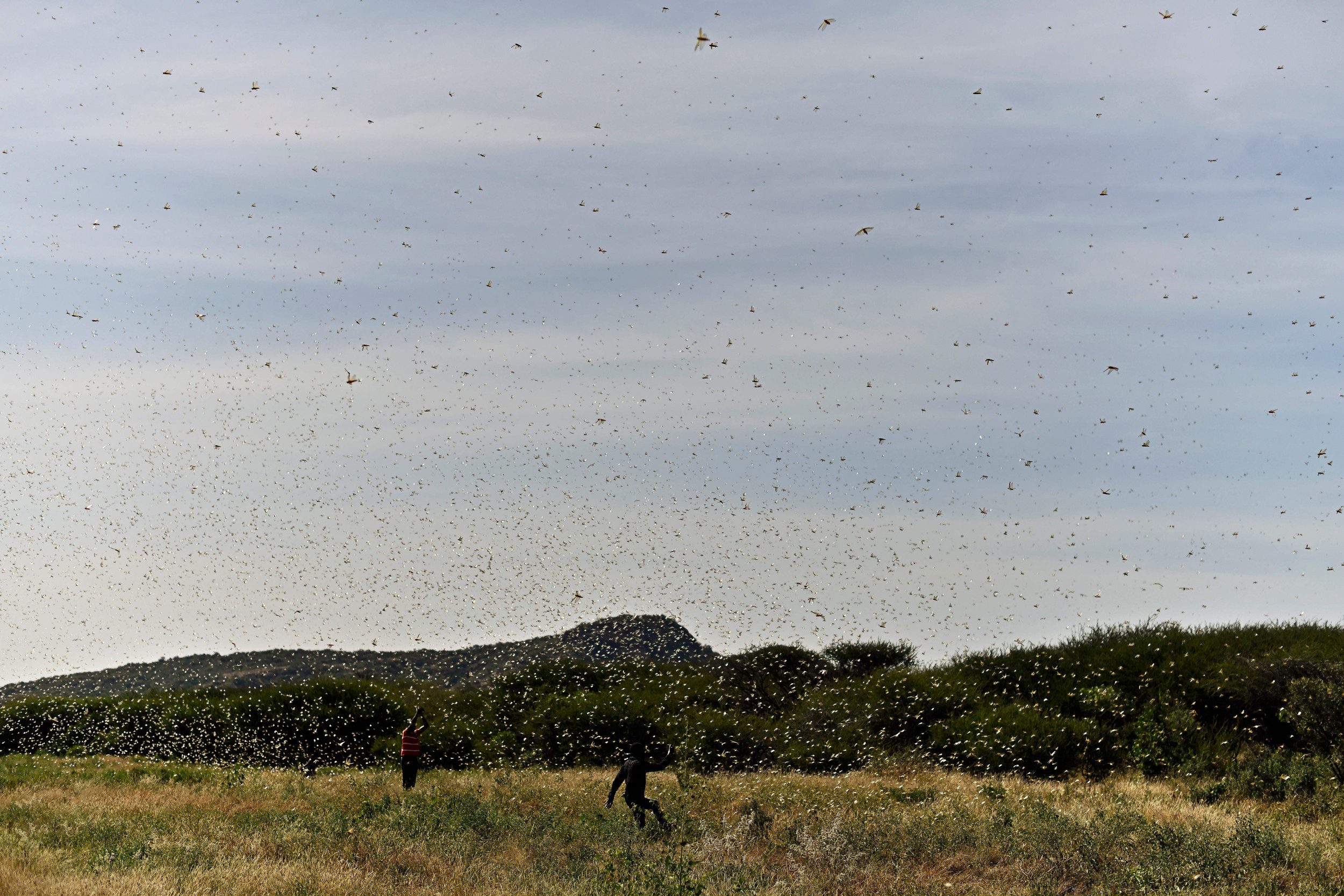 Swarm of locusts aggregates near Lerata village