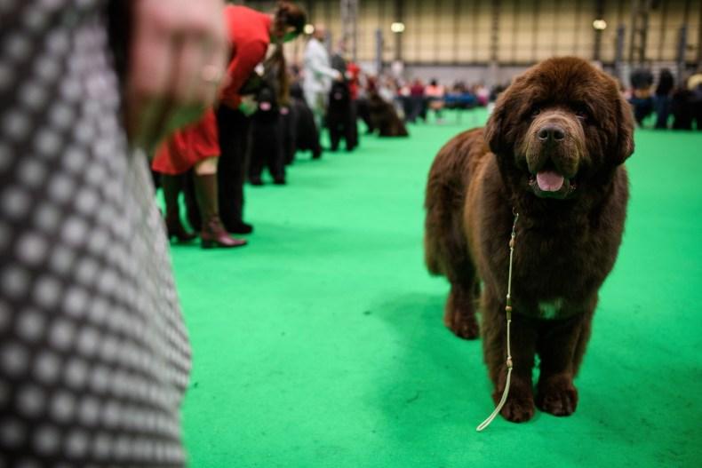 Newfoundland dog show U.K. 2018