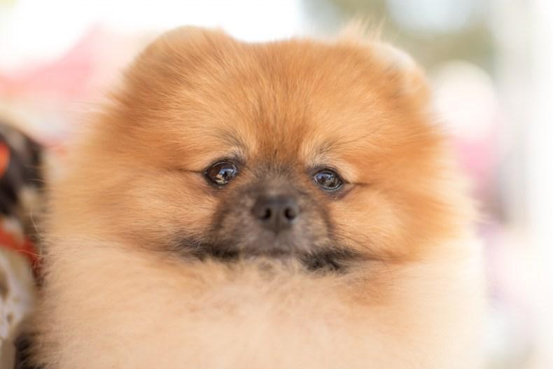 Pomeranian dog show Australia 2019