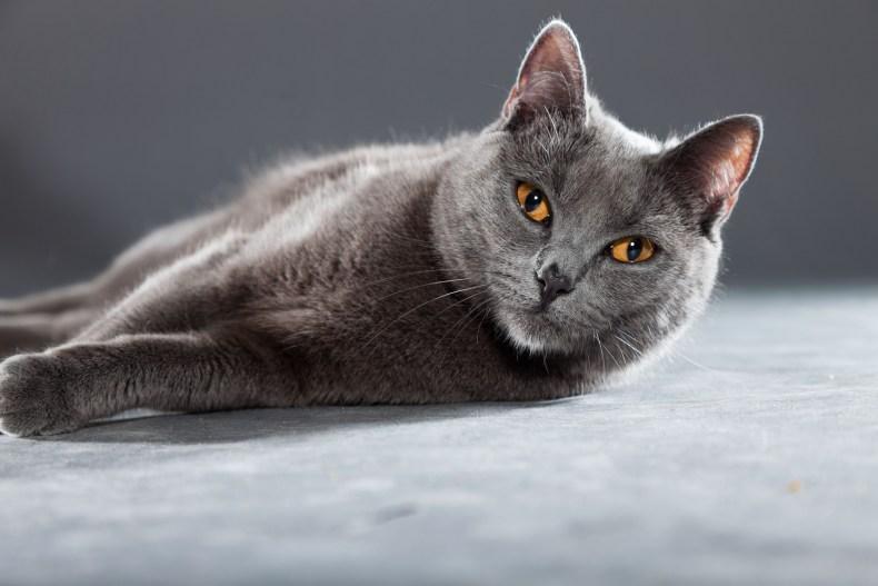 Grey Chartreux cat