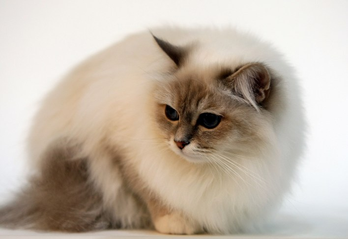 Birman cat Israel