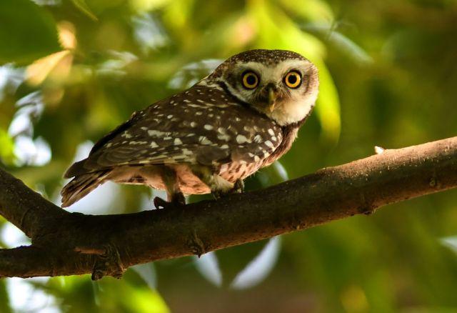 A little owl on a tree branch
