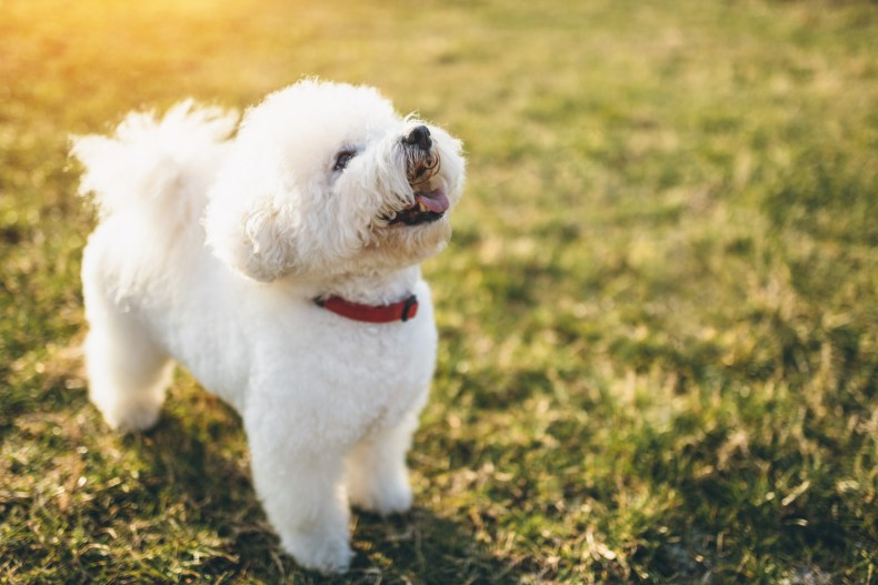 A Bichon Frise dog looking up